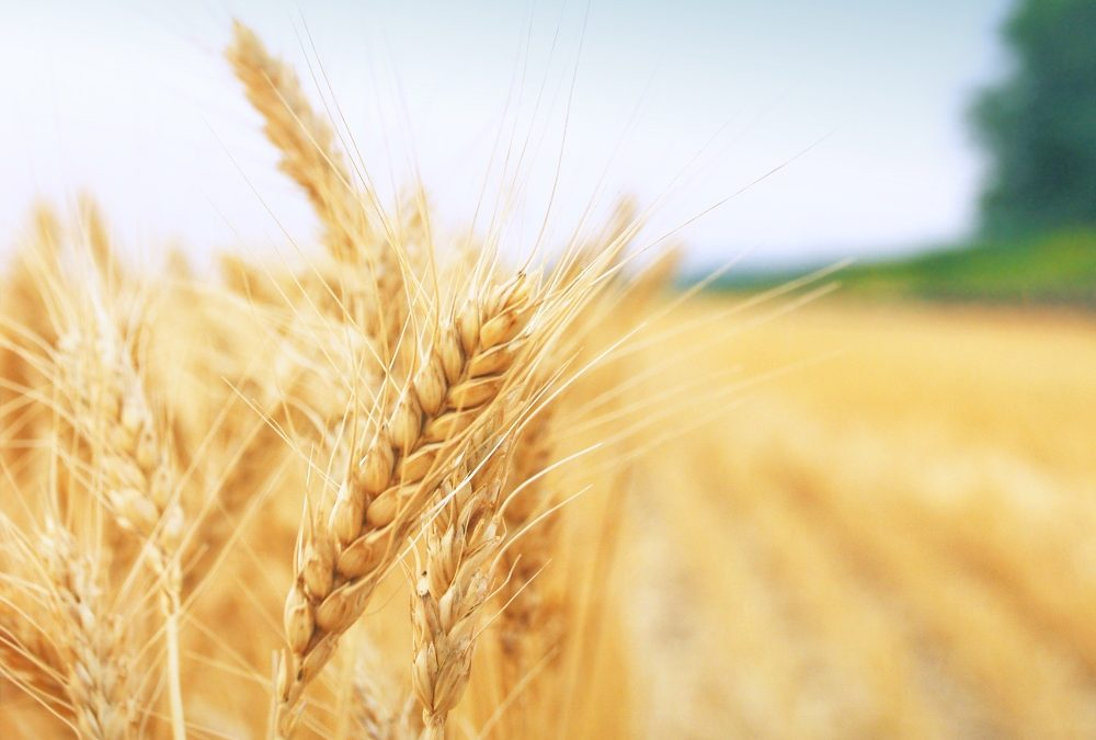 Will a Poor Harvest Mean More Cereal Imports and Increased Bread Prices?